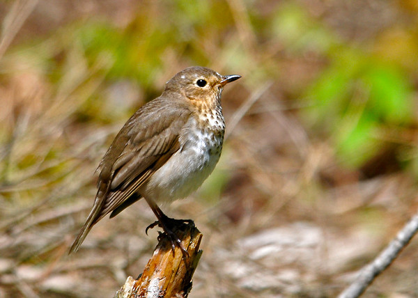 """<div class=""""jaDesc""""> <h4> Hermit Thrush in Nice Afternoon Light - May 17, 2014 </h4> <p>As I was driving along a dirt road through a densely wooded area, a small brown bird flew across in front of me.  It was a Hermit Thrush that posed nicely on a fallen limb.</p> </div>"""