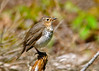 "<div class=""jaDesc""> <h4> Hermit Thrush in Nice Afternoon Light - May 17, 2014 </h4> <p>As I was driving along a dirt road through a densely wooded area, a small brown bird flew across in front of me.  It was a Hermit Thrush that posed nicely on a fallen limb.</p> </div>"