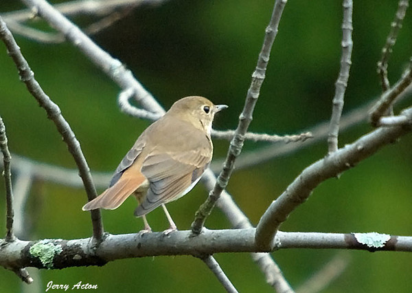 """<div class=""""jaDesc""""> <h4> Hermit Thrush - 1st Time Sighting - October 17, 2009 </h4> <p>I was trying to get shots of a Kinglet when this Hermit Thrush landed nearby.  He was migrating through.  While I have heard them in the woods before, this is the first one I have seen.</p> </div>"""