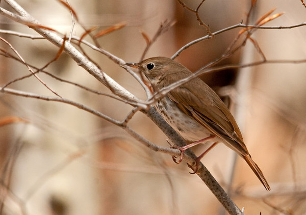 """<div class=""""jaDesc""""> <h4> Hermit Thrush Perched in Bush - May 6, 2011 </h4> <p>This Hermit Thrush flew out in front of my truck as I was driving through a densely wooded area. He landed on a bush right by the side of the road and let me stop and photograph him through the open truck window.</p> </div>"""