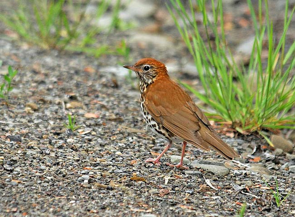 "<div class=""jaDesc""> <h4>Wood Thrush - 1st Ever Photo - June 5, 2010 </h4> <p> This Wood Thrush was hopping in and out of grass clumps along the shoulder of a shaded back road.  Normally they are fairly deep in the woods and very skittish.  The rich rust colored back and dark breast spots distinguish him from the Hermit Thrush.</p> </div>"