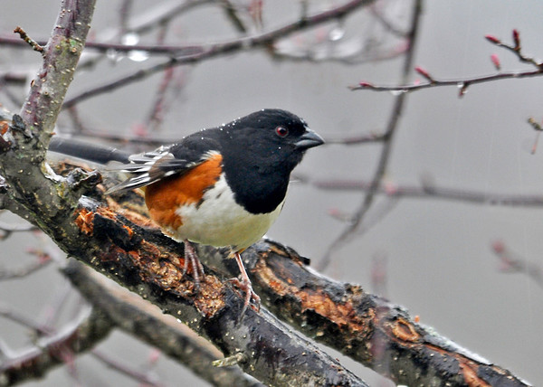 "<div class=""jaDesc""> <h4>Soggy Male Towhee in Crabapple Tree - April 22, 2014 </h4> <p> Our first Towhee of the year started calling across the road a few weeks ago.  Now he is visiting our yard regularly.  I know he like oats, so I toss some on the ground in several places every morning. </p> </div>"