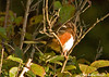 "<div class=""jaDesc"">  <div class=""jaDesc""> <h4> Male Eastern Towhee in Treetop - October 2006</h4> <p> After early spring, the Towhees stick to the dense brush across the road from our house.  While we can hear them, they remain hidden most of the time.  I was fortunate to catch this one in the early morning sunshine.</p> </div>"