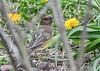 "<div class=""jaDesc""> <h4>Female Towhee Ground Feeding - April 27, 2021</h4> <p>Hopping around under the bushes.</p></div>"