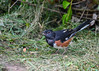 "<div class=""jaDesc""> <h4>Adult Male Towhee Ground Feeding - September 18, 2016</h4> <p>I caught this male Towhee rolling a millet seed with his tongue.</p></div>"
