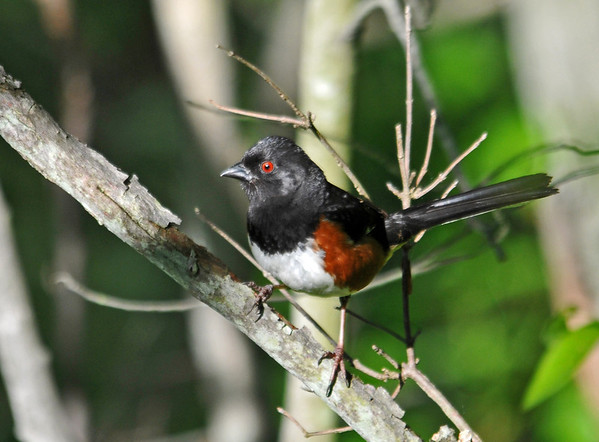 "<div class=""jaDesc""> <h4> Towhee Calling - June 4, 2014 - Video Attached</h4> <p> This Towhee came out to the edge of the road as he was calling to his mate.  I believe the nest is nearby deeper in the woods.  He has been hanging out in the same location for the past week.</p> </div> <center> <a href=""http://www.youtube.com/watch?v=aZGQt_yI1Sw"" style=""color: #0AC216"" class=""lightbox""><strong> Play Video</strong></a> </center>"