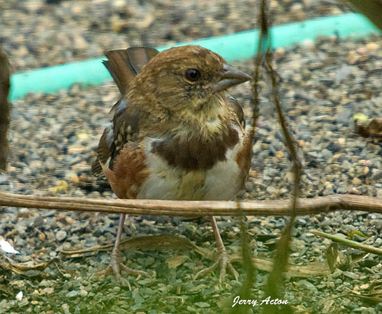 """<div class=""""jaDesc""""> <h4> Juvenile Towhee Ground Feeding - August 31, 2009</h4> <p>I thought this was a female Towhee when I first saw it, but looking closer I think it is a juvenile male.  Since I transplanted some large berry bushes into our front yard, the Towhee family has been coming in to ground feed.</p> </div>"""