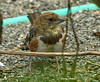 "<div class=""jaDesc""> <h4> Juvenile Towhee Ground Feeding - August 31, 2009</h4> <p>I thought this was a female Towhee when I first saw it, but looking closer I think it is a juvenile male.  Since I transplanted some large berry bushes into our front yard, the Towhee family has been coming in to ground feed.</p> </div>"
