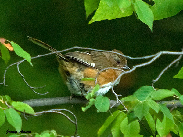 """<div class=""""jaDesc""""> <h4> Female Towhee in Thick Brush - July 19, 2009</h4> <p>This female Eastern Towhee has been calling in the woods all summer.  I finally got a shot of her.</p> </div>"""