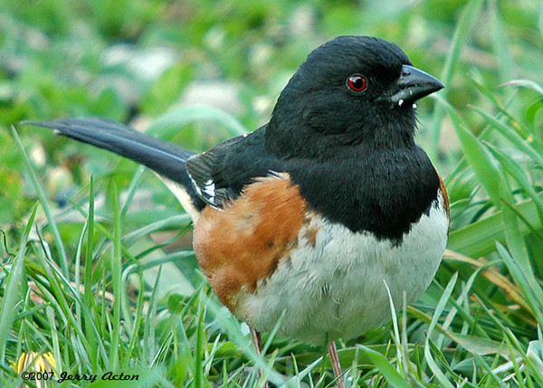 "<div class=""jaDesc""> <h4> Towhee Ground Feeding - May 2006</h4> <p> The Towhees show up in early spring to ground feed under the evergreen trees in our backyard.</p> </div>"