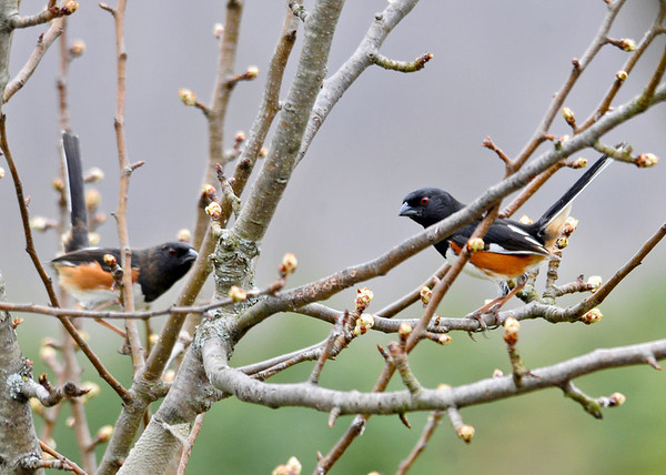 """<div class=""""jaDesc""""> <h4>Dueling Male Towhees - May 2, 2014 </h4> <p> Today a second male Towhee showed up and the territory battle was in full flight.  They chased each other through the trees and bushes all around our backyard.  They are holding their tails straight up as a display of dominance. </p> </div>"""