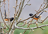 "<div class=""jaDesc""> <h4>Dueling Male Towhees - May 2, 2014 </h4> <p> Today a second male Towhee showed up and the territory battle was in full flight.  They chased each other through the trees and bushes all around our backyard.  They are holding their tails straight up as a display of dominance. </p> </div>"