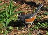 "<div class=""jaDesc""> <h4>Male Towhee Ground Feeding - May 11, 2014 </h4> <p> I patiently waited while I heard this male Towhee calling for about 10 minutes.  He finally landed right in front of me to ground feed right where I had tossed out some oats - his favorite seed. </p> </div>"