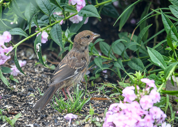 "<div class=""jaDesc""> <h4> Juvenile Female Towhee Among Phlox - August 10, 2016</h4> <p>I had to wait patiently for this juvenile female Towhee to move between phlox flowers so I could get a shot of her.</p> </div>"
