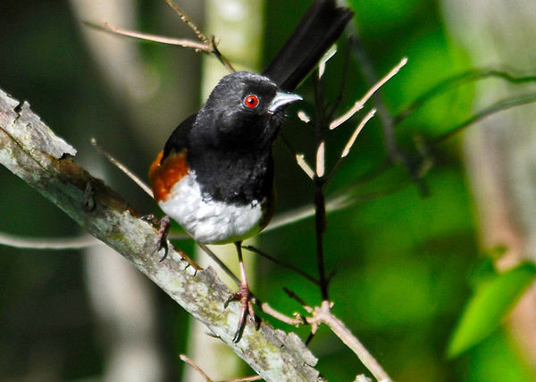 """<div class=""""jaDesc""""> <h4>Male Towhee Exploring  - June 4, 2014 </h4> <p> I love this guy's red eye.  It was nicely highlighted as he landed on a perch in the spotlight of the morning sun.</p> </div>"""