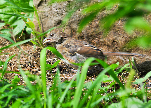 """<div class=""""jaDesc""""> <h4> Juvenile Towhee with Millet Seed - September 10, 2013 </h4> <p> The juvenile Towhee scooted around under the bushes and popped out periodically.  Given the lightness of the coloring, it is probably a female.  This is the first time I have ever seen a juvenile Towhee.</p> </div>"""