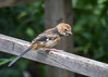"<div class=""jaDesc""> <h4> Juvenile Male Towhee on Rail - August 10, 2016</h4> <p>It's always fun to have juvenile Towhees hanging around the feeder area.  This juvenile male was in along with his sister.</p> </div>"
