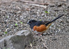 "<div class=""jaDesc""> <h4>Male Towhee Ground Feeding - April 30, 2017</h4> <p>I finally got this male Towhee; he has been here about a week.  He is calling all day, but hasn't attracted a mate yet.</p></div>"