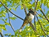 "<div class=""jaDesc""> <h4> Male Eastern Towhee in Treetop - May 20, 2009</h4> <p> Last year we had a pair of Towhees around all summer and then I saw a juvenile for the first time.  This male would sing in the treetops every morning to let all the birds know it was his territory.</p> </div>"