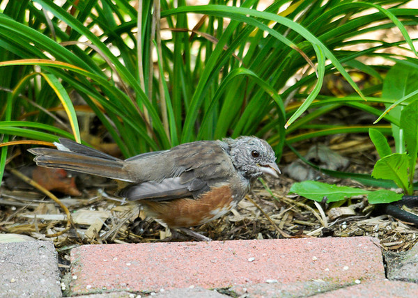"<div class=""jaDesc""> <h4> Juvenile Female Towhee Ground Feeding - September 26, 2013 </h4> <p> In just 16 days since I last photographed her, this juvenile Towhee has enough new feathers to make it clear that she is a female.</p> </div>"