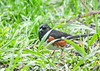 "<div class=""jaDesc""> <h4>Male Towhee in Spring Grass - May 14, 2019</h4> <p></p></div>"
