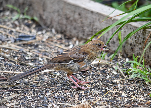 "<div class=""jaDesc""> <h4> Juvenile Female Towhee Ground Feeding - August 10, 2016</h4> <p>Notice that the juvenile female has  lighter coloring than the male.  She seems to prefer the sunflower seeds.</p> </div>"