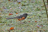 "<div class=""jaDesc""> <h4>Male Towhee with Seed  - May 13, 2016</h4> <p>I have a protected area in my backyard where I spread grass clippings and toss seed on top.  The Towhee likes to ground feed there.</p> </div>"