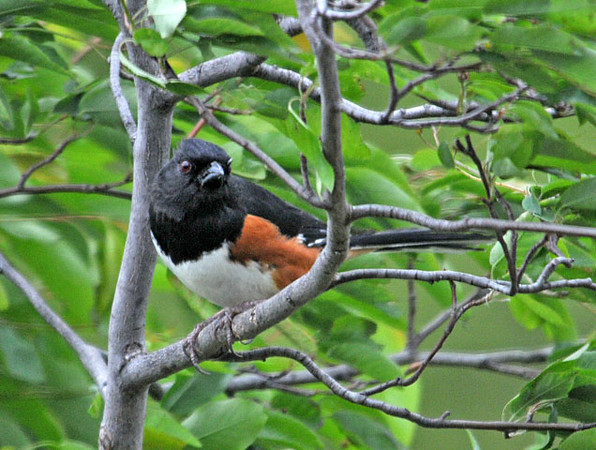 """<div class=""""jaDesc""""> <h4> Towhee Comes in Closer - May 9, 2010 </h4> <p>Our male Towhee is now venturing into the closer feeder areas to ground feed on sunflower seeds.  He has stopped his constant calling, so he may have paired up with a female coming through.</p> </div>"""