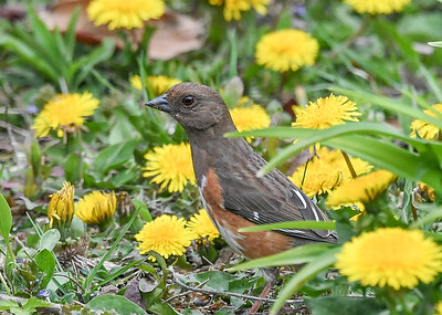 Female Towhee Among the Dandelions - April 27, 2021 It was very nice of her to wander into this patch of dandelions!