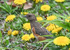 """<div class=""""jaDesc""""> <h4>Female Towhee Among the Dandelions - April 27, 2021</h4> <p>It was very nice of her to wander into this patch of dandelions!</p></div>"""