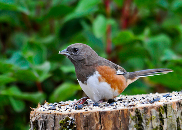 """<div class=""""jaDesc""""> <h4>Male Towhee Eating Millet Seed - September 26, 2013 </h4> <p> This is a male Towhee who could be the dad of the juvenile Towhee that has been around for the past 6 weeks.  He should be heading south soon.</p> </div>"""
