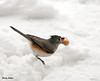"""<div class=""""jaDesc""""> <h4> Tufted Titmouse with Peanut - March 3, 2010 </h4> <p>The Blue Jays can fit only one un-shelled peanut in their beak, so I was really surprised to see this little Tufted Titmouse fly off with one in its beak.  I expect it kept her busy for quite awhile.</p> </div>"""