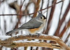 "<div class=""jaDesc""> <h4> Perky Tufted Titmouse  in Snow - January 3, 2015 </h4> <p>I have been putting out more safflower seeds every morning.  The result is more visits by the Tufted Titmice and the Nuthatches.</p> </div>"