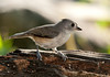 "<div class=""jaDesc""> <h4> Juvenile Tufted Titmouse Looking for Seeds - October 20, 2011 </h4> <p>For the past week, I have been awakened in the morning to the sound of juvenile Titmice begging to be fed and the return calls of their parents as they keep track of each other. The two juveniles keep their crests tucked while the parents crests are usually up high.</p> </div>"