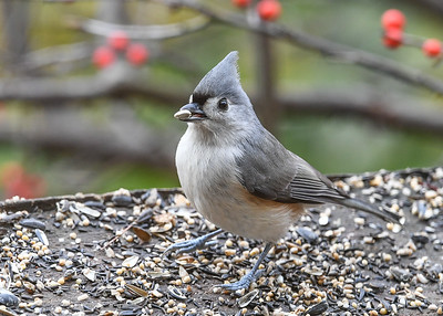 Tufted Titmouse with Safflower Seed - November 17, 2020  One of their favorite seeds.