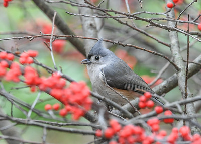 Tufted Titmouse in Winterberry Bush - November 17, 2020  We have a pair of these cute little beauties here over the winter.  They frequently call, presumably to communicate to each other where they are.