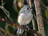 "<div class=""jaDesc""> <h4> Juvenile Tufted Titmouse on Perch - September 14, 2010 </h4> <p>The Tufted Titmouse family was in for a visit early this evening - 2 adults and 2 juveniles. This juvenile was waiting for his turn at the sunflower seed feeder. He is still working on completing his feathers, particularly his crest.</p> </div>"