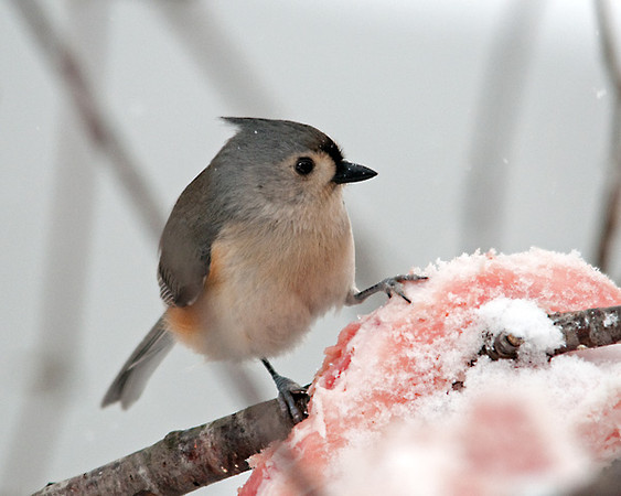 "<div class=""jaDesc""> <h4> Titmouse Enjoying Suet - February 16, 2010 </h4> <p>I buy chunks of raw suet at the grocery store to put out in winter to offer the birds some extra protein. The Tufted Titmice are particularly fond of this delicacy.</p> </div>"