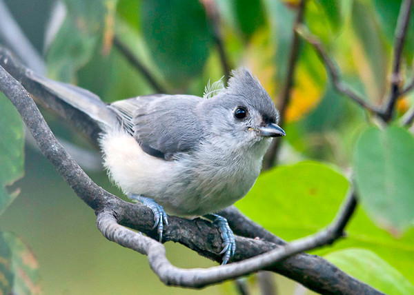 """<div class=""""jaDesc""""> <h4> Tufted Titmouse In-bound for Seed - August 3, 2013 </h4> <p>We have had 2 adult Tufted Titmice and 2 juveniles visiting our yard for several weeks. They are just as quick as Chickadees.  I finally managed to get a shot of one as it was headed to the feeder. </p> </div>"""