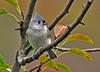"<div class=""jaDesc""> <h4> Tufted Titmouse Among Autumn Color #1 - October 4, 2010 </h4> <p>The leaves are changing color on our serviceberry trees which are favorite approach perches for the Tufted Titmouse family. We have 2 adults and 2 juveniles visiting regularly.</p> </div>"