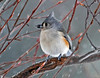 "<div class=""jaDesc""> <h4> Tufted Titmouse in Snow Storm - December 10, 2010 </h4> <p>Cold weather and blowing snow do not slow down the Tufted Titmice. They go about their feeding as usual.</p> </div>"