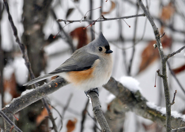 "<div class=""jaDesc""> <h4> Tufted Titmouse in Crabapple Tree - December 30, 2013</h4> <p> We have a family of 4 Tufted Titmice hanging around all day long now.  They grab black-oiled sunflower seeds from the feeder and come to this crabapple tree to eat them. </p>  </div> <center> <a href=""http://www.youtube.com/watch?v=VEDocOQ3KFI""  style=""color: #0000FF"" class=""lightbox""><strong> Play Video</strong></a>"