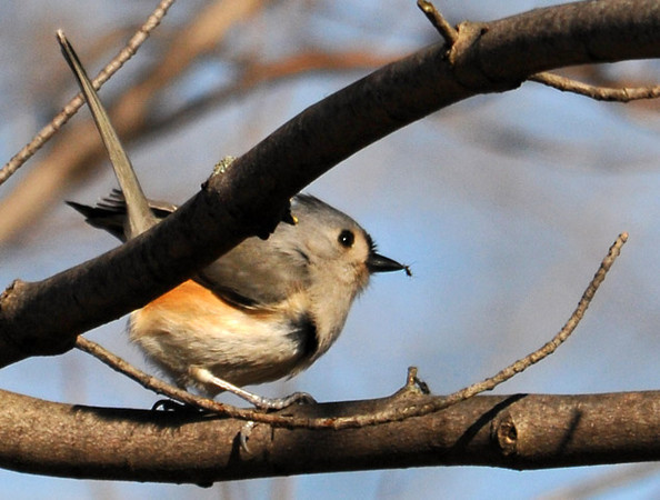 """<div class=""""jaDesc""""> <h4> Tufted Titmouse - I Got My Bug ! - February 20, 2012 </h4> <p>This Tufted Titmouse was following a White-breasted Nuthatch around through large trees in Treman Marine Park, Ithaca, NY.  They seemed to be competing for who could find the available bugs first.  In this shot, the Tufted Titmouse got her prize. Notice the little bug at the tip of her beak. I got a real workout trying to follow these birds as they scrambled around the trunks of trees.</p> </div>"""
