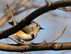 "<div class=""jaDesc""> <h4> Tufted Titmouse - I Got My Bug ! - February 20, 2012 </h4> <p>This Tufted Titmouse was following a White-breasted Nuthatch around through large trees in Treman Marine Park, Ithaca, NY.  They seemed to be competing for who could find the available bugs first.  In this shot, the Tufted Titmouse got her prize. Notice the little bug at the tip of her beak. I got a real workout trying to follow these birds as they scrambled around the trunks of trees.</p> </div>"