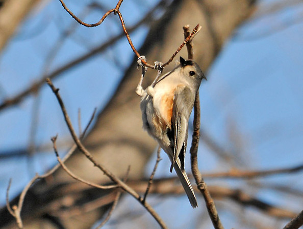 """<div class=""""jaDesc""""> <h4> Acrobatic Titmouse - February 20, 2012 </h4> <p>This Titmouse was moving around through the trees at Treman Marine Park in Ithaca, NY.  On one stop, he miscalculated the strength of the twig and ended up swing back and forth like on a trapeze.</p> </div>"""