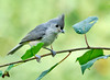 "<div class=""jaDesc""> <h4> Juvenile Tufted Titmouse Exploring - July 20, 2014 </h4> <p>The two juvenile  Tufted Titmice were doing more exploring than eating.  There was so much new stuff to see for their first time at our feeder area.</p> </div>"