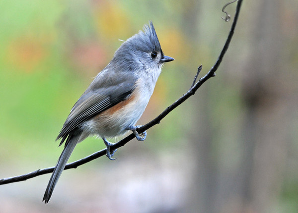 "<div class=""jaDesc""> <h4> Tufted Titmouse Pausing on Branch - October 16, 2010 </h4> <p>The Tufted Titmice are not picky about their diet. They go for suet, shelled peanuts, black-oiled sunflower seeds and safflower seeds, so they never have to wait in line. This guy was headed for the peanut feeder.</p> </div>"