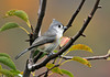 "<div class=""jaDesc""> <h4> Tufted Titmouse Among Autumn Color #2 - October 4, 2010 </h4> <p></p> </div>"