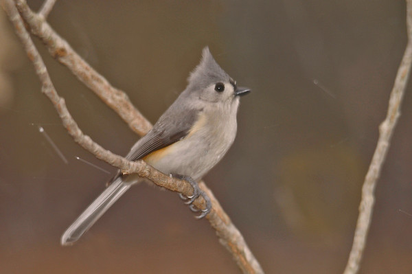 """<div class=""""jaDesc""""> <h4> Tufted Titmouse In Blowing Snow - March 20, 2014 </h4> <p>This is one of the 2 adult Titmice that were around all winter.  I am sure she is just as ready for Spring as we are.</p> </div>"""