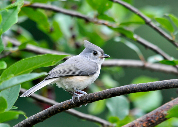"""<div class=""""jaDesc""""> <h4> Tufted Titmouse Family Visits - July 20, 2014 </h4> <p>We had not seen our Tufted Titmouse pair since early April.  They disappear to the woods during nesting season.  Today the two adults and two juveniles came in for breakfast.I believe this is the adult female, but not certain.</p> </div>"""